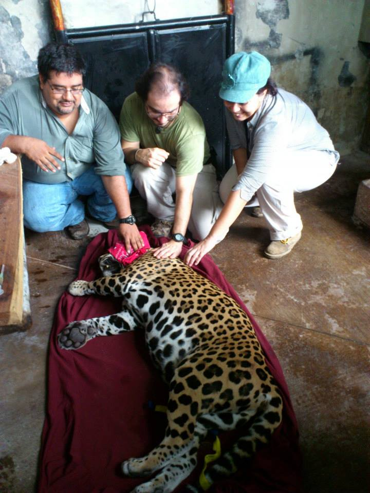 vets with jaguar