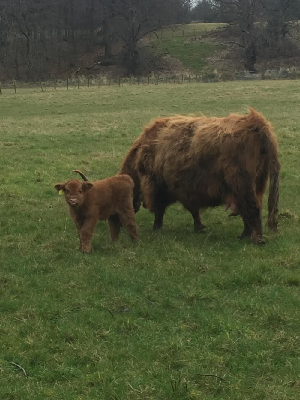 Scottish Highland Cow and Calf